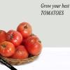 Secrets de la culture des tomates charnues sains